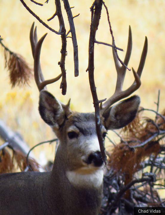 Estes Buck - Chad Vidas Outdoors