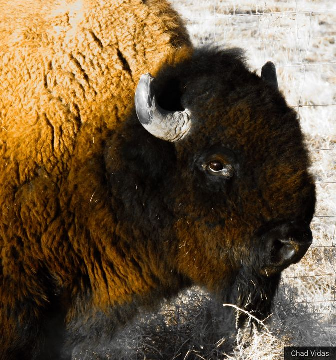 America Buffalo - Chad Vidas Outdoors