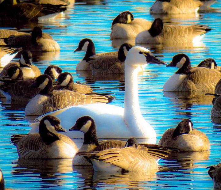 Swan Among Us - Chad Vidas Outdoors