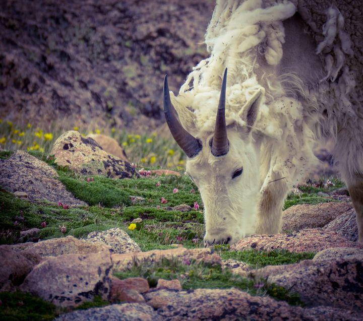 Colorado Goat - Chad Vidas Outdoors