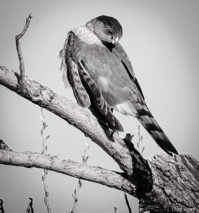 Hawk Time - Chad Vidas Outdoors