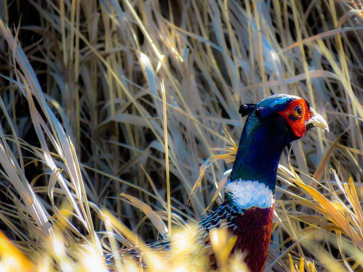 Male Pheasant - Chad Vidas Outdoors