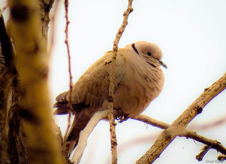 Dove Song - Chad Vidas Outdoors
