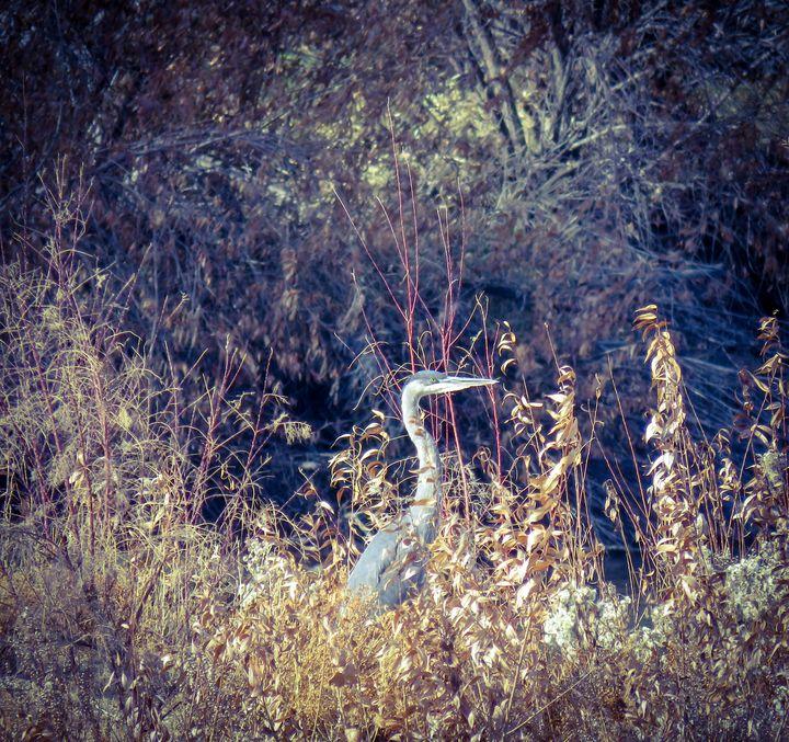 Blue Heron - Chad Vidas Outdoors