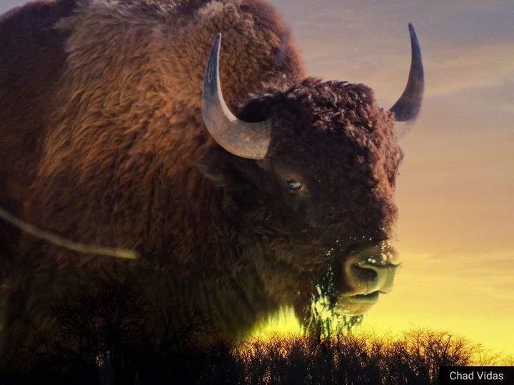 Morning Bison - Chad Vidas Outdoors