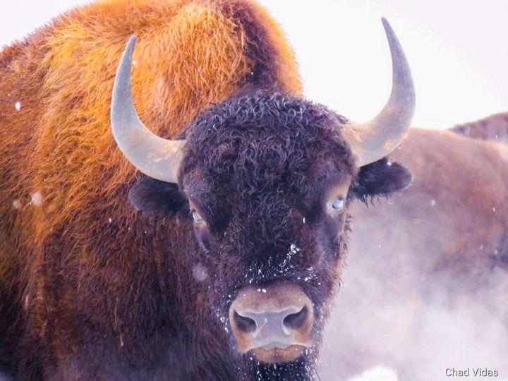 Morning Buffalo - Chad Vidas Outdoors