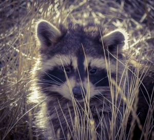 Raccoon - Chad Vidas Outdoors
