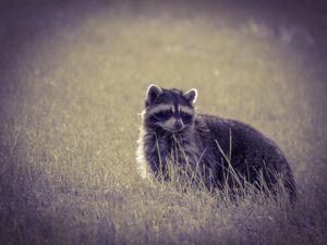 Raccoon's Life - Chad Vidas Outdoors