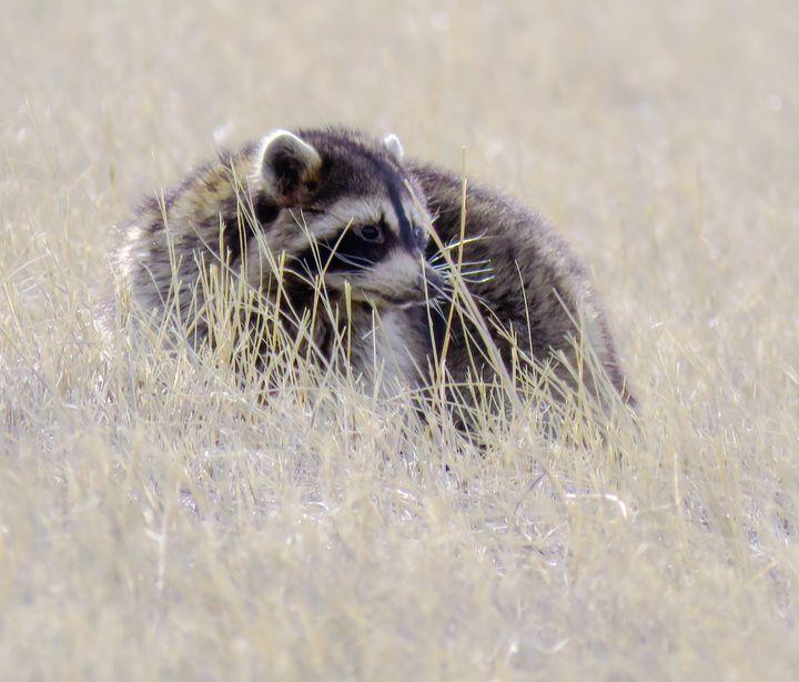 American Raccoon - Chad Vidas Outdoors