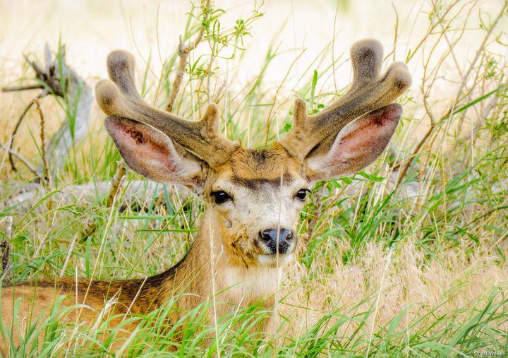 Arsenal Mule deer - Chad Vidas Outdoors