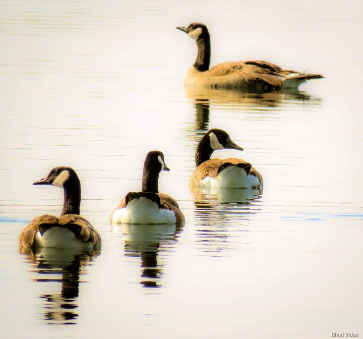 Geese On Pond - Chad Vidas Outdoors