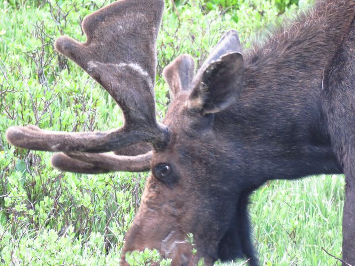 State Moose - Chad Vidas Outdoors