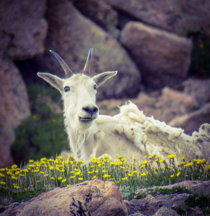 Beautiful Goat - Chad Vidas Outdoors