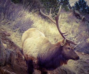 Estes Bull - Chad Vidas Outdoors