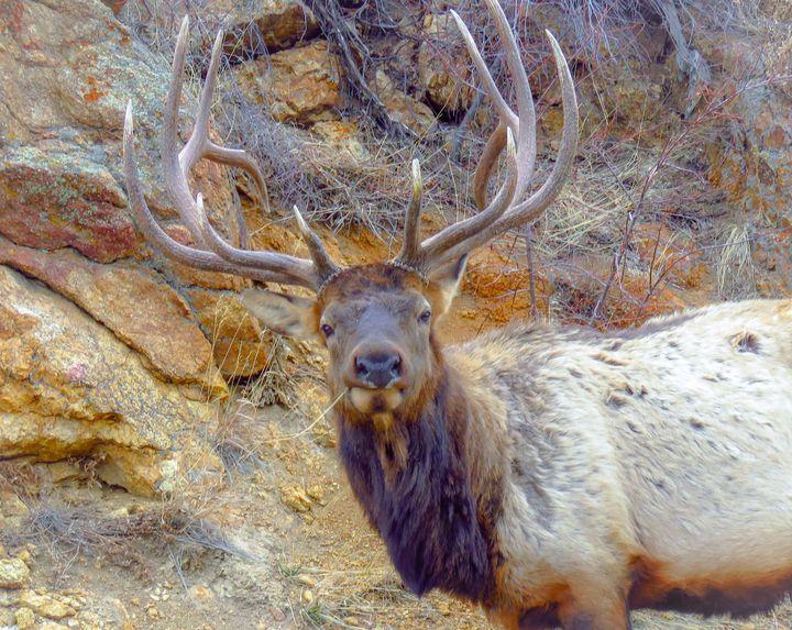 Trophy Elk - Chad Vidas Outdoors