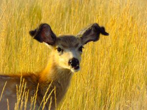Deer Fawn - Chad Vidas Outdoors