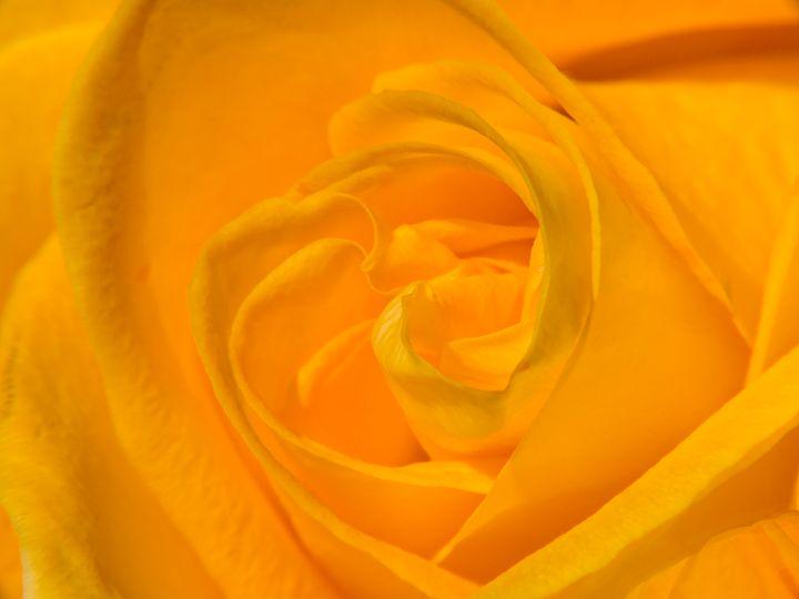 Orange rose - Mihail