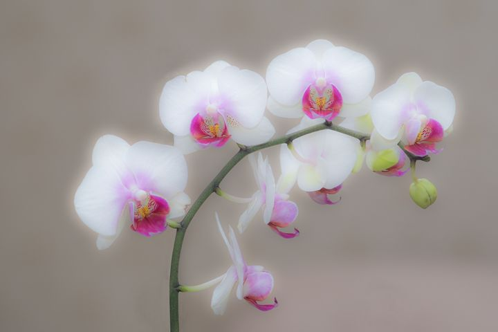Orchid - Mihail