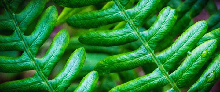 Croatan Forest Fern Closeup - Bob Decker