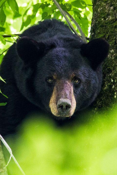 Black Bear in the Croatan Forest - Bob Decker
