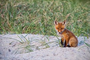 NC Fox Kit Sitting Next to Its Den