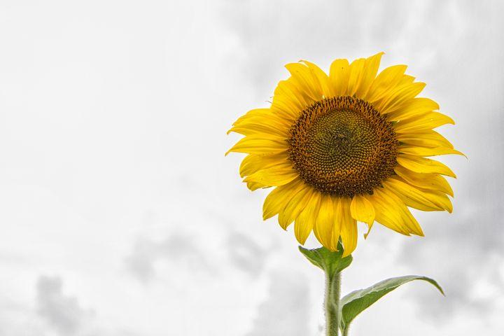 Sunflower Against a NC Sky - Bob Decker