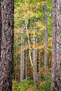 Colorful Birch Tree Among the Pines