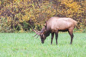 Wild Bull Elk in the Great Smokies