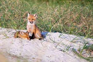 Fox Kits on the Crystal Coast of NC