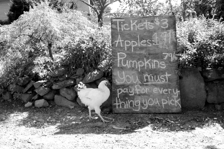 Hen on the farm - BJames Photography