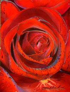 Dripping Wet Red Velvet Rose - Robert C. Murray II