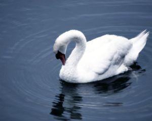Lone Swan...