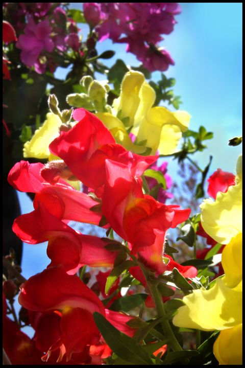 Snapdragons - Blessed by Gaia