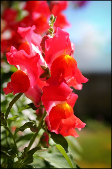 Red Snapdragons - Blessed by Gaia