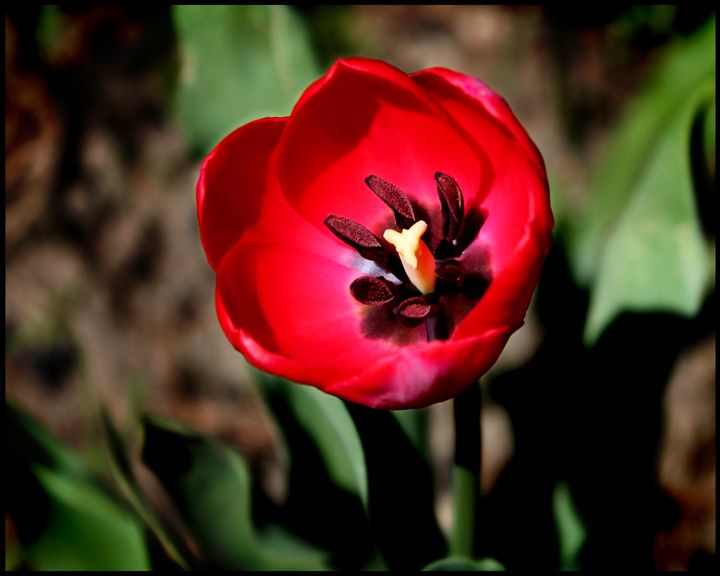Red Tulip - Blessed by Gaia