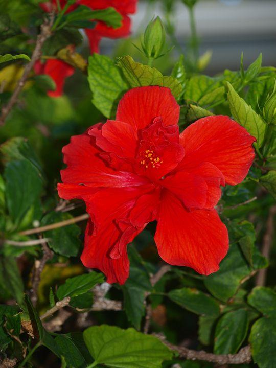 Red Hibiscus Photo - LJM Memories