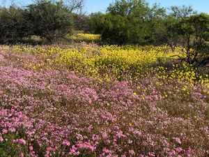 Wild flowers in the Gascoyne