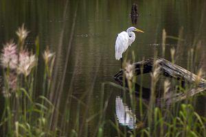 resting egret - Greg N Smith PhotoArt