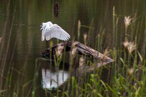 Egret Wings - Greg N Smith PhotoArt