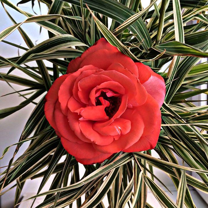 Scarlet rose - Shadow-artist