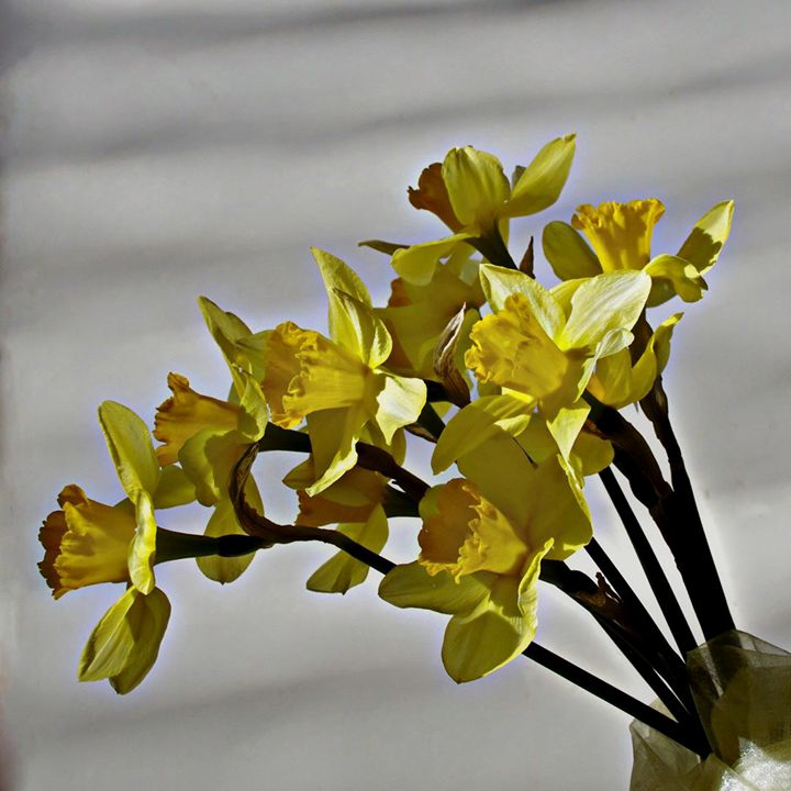 Yellow daffodil - Shadow-artist