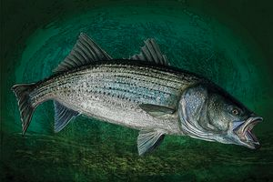 Striped Bass in Blue Green Depth