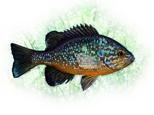 The Pumpkinseed Panfish