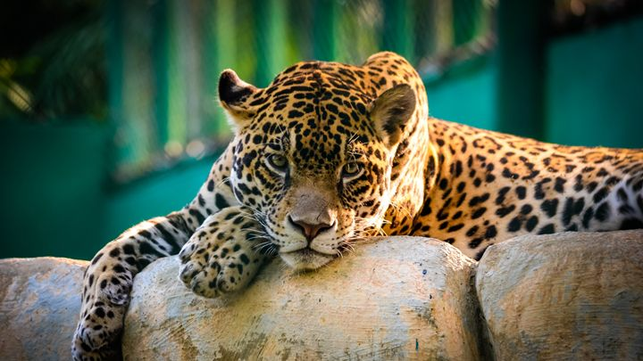 Jaguar -  Thecutegothicgirl