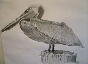 Tortolan Pelican
