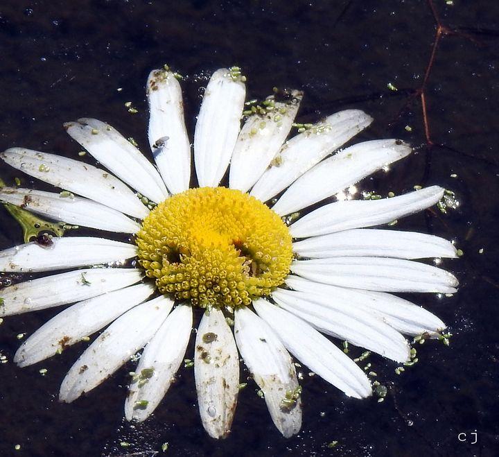 daisy - Creativemind