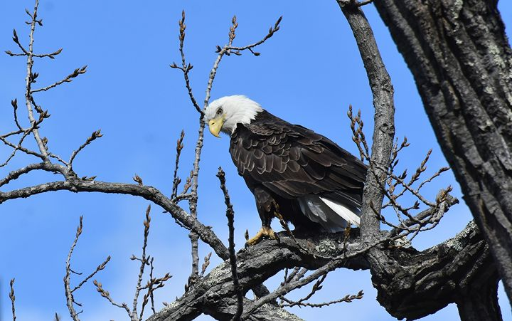 Bald Eagle Perched in Tree - NatureBabe Photos