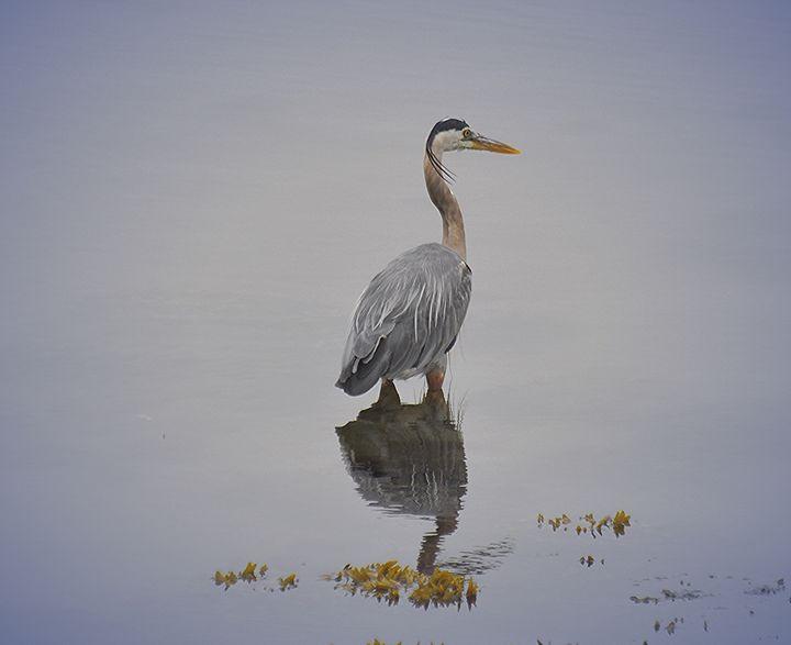 Acadia National Park Heron - NatureBabe Photos