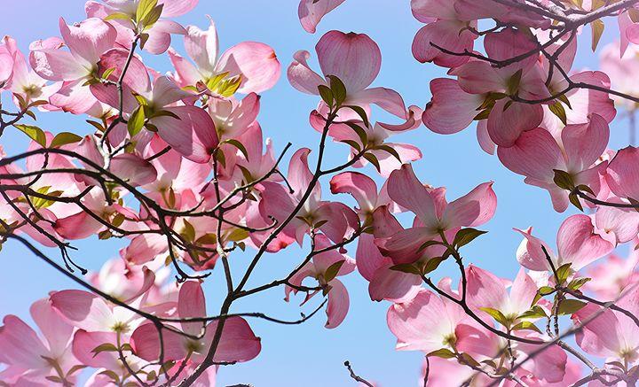 Pink Dogwoods, Blue Sky - NatureBabe Photos