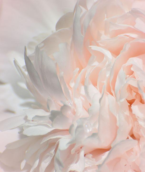 Pink Peony Macro - NatureBabe Photos